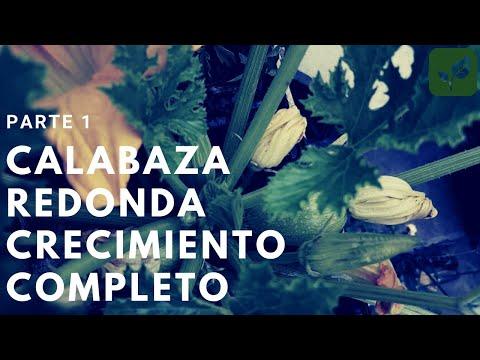 calabaza: siembra crecimiento y cuidado parte 1 - youtube