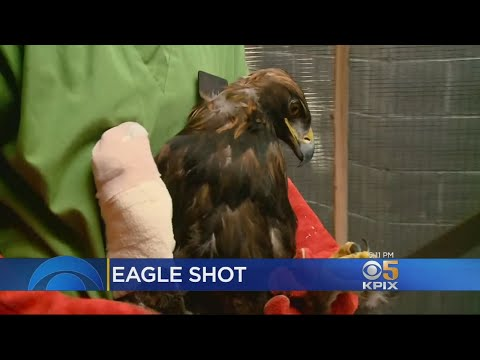 Golden Eagle Found Shot In Wing Being Rehabilitated In Walnut Creek