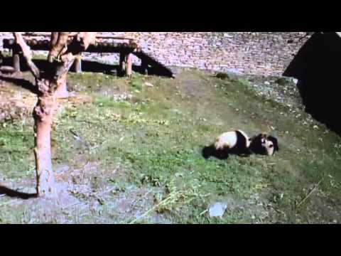 Wolong National Nature Reserve - Panda twins in action