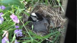 玄関の扉のすぐ脇の植木にセキレイさんが巣を作りました。 昨日の台風も無事にやり過ごし、今日も卵を温めています。