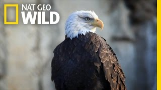 Bald Eagle Feeding Frenzy | United States of Animals