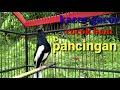 Kacer Gacor Cocok Untuk Pacingan Kacer Anda  Mp3 - Mp4 Download