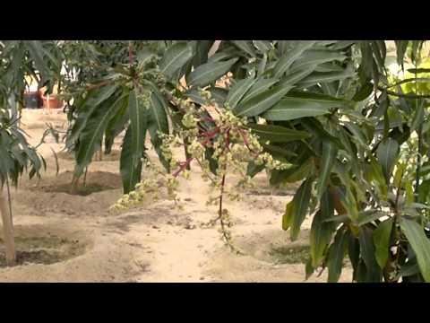 إنتاج الفاكهة (المانجو المميزة) - Gulf Plants