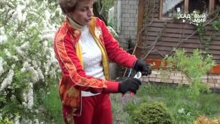 Неприхотливые растения для сада  Спирея серая – белый фонтан!