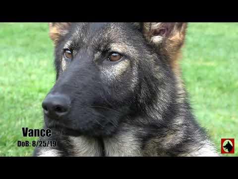 Kraftwerk K9 German Shepherd Puppy - Check Out Vance's Handsome Dark Sable Markings!