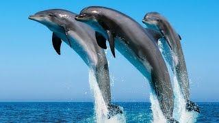 Дельфины, интересное видео
