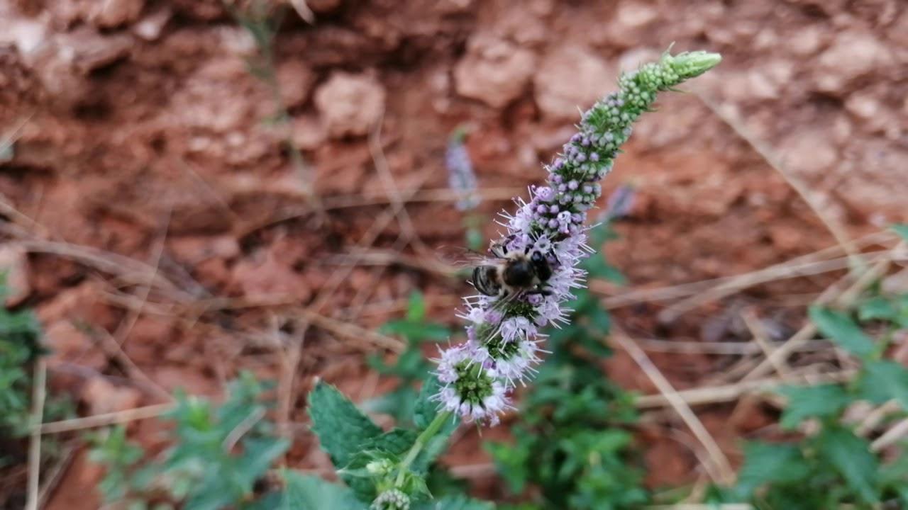 سروح النحل على زهرة النعناع