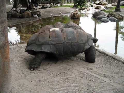 GIANT TORTOISES OF THE GALAPAGOS ISLANDS - WORLDS LARGEST LAND TURTLE at Bush Gardents Tampa, FL