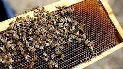 Despite urban beekeeping efforts, Ohio bees face hurdles
