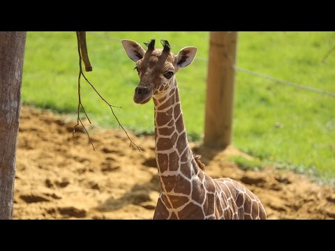 Baby giraffe gives its mum the run around!