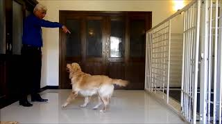 Cage training, Labrador and golden retriever. (Pakistan Dog Trainer)