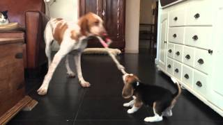 Bracco Italiano Takes Puppy Beagle For A Walk