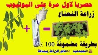 زراعة النعناع من عود نعناع   زراعة النعناع في المنزل   زراعة النعناع من عود نعناع فقط