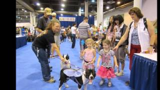 American Staffordshire Terriers Texas