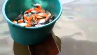 Video Memancing Ikan Piranha download MP3, 3GP, MP4, WEBM, AVI, FLV April 2018