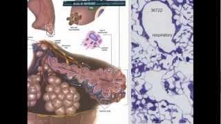 20. Respiratory System