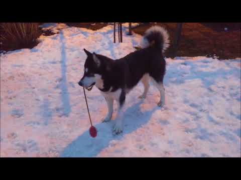 Alaskan Malamute and her winter neck exercise