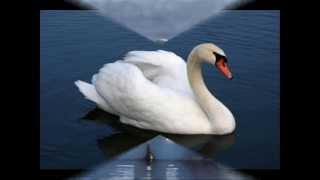 учитесь верности у лебедей