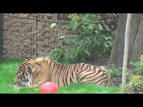 ZSL London Zoo - Tiger Territory - Talk & Feeding