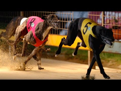 Animal Abuse at Greyhound Racetrack Exposed in Video