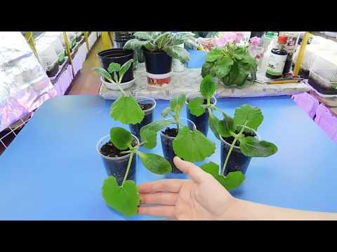 Выращивание рассады кабачков в домашних условиях