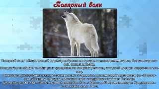 Презентация для дошкольников животные севера (картинки и описание животных)
