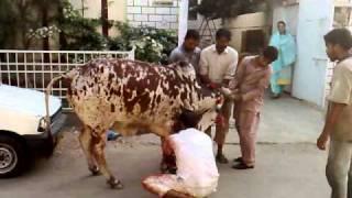 b 222 cow qurbani