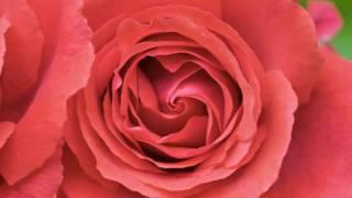 La Rosa Enflorece