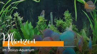 Pflanzen im Diskus-Aquarium