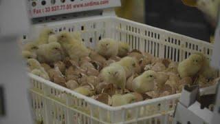 Сексизм на птицефабрике