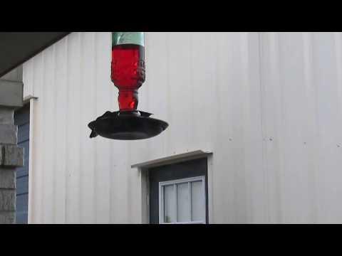 Hummingbird Visitor 8 19 15