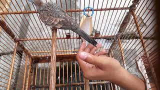 Cara Mandikan Burung Perkutut Yang Baik Dan Benar