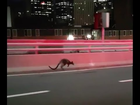 Wallaby on the run from police in Australia