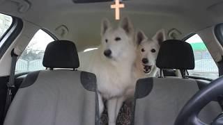 Реакция собак в авто на мойку машины.