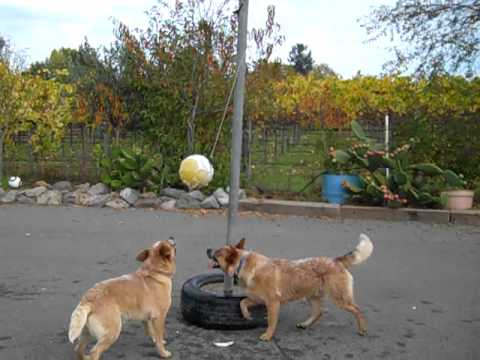 australian cattle dogs playing tetherball