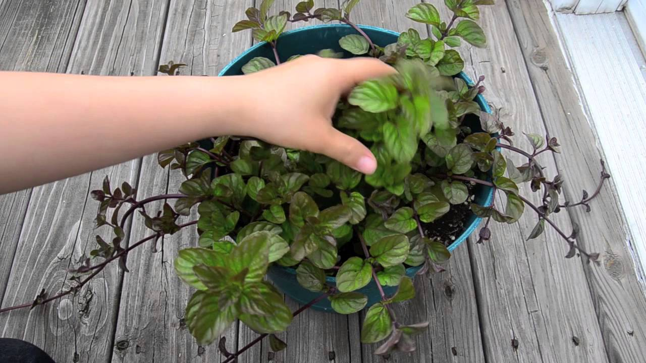 growing mint in containers spearmint peppermint apple and orange mint youtube. Black Bedroom Furniture Sets. Home Design Ideas