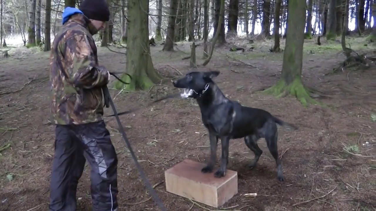 & Knpv Box training Dogs ?? - YouTube Aboutintivar.Com