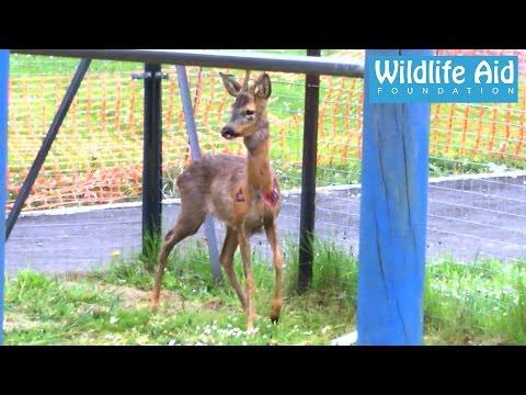 Deer rescue - Wildlife rescuers exhausted