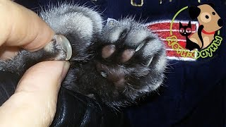 Когда и как стричь когти у кошки?