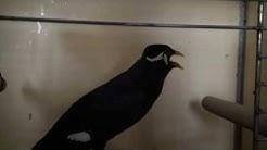 beo der sprechende Vogel