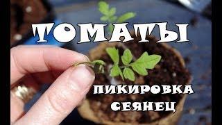 Пикировка рассады томатов(Как пикировать рассаду томатов? Когда пикировать помидоры? В данном видео поговорим об этом..., 2014-05-08T10:19:20.000Z)