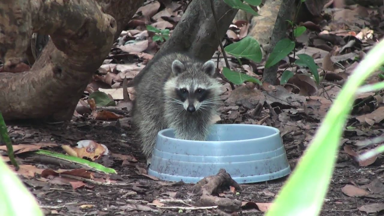 how to clean a raccoon for cooking