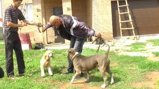 Агрессия к другим собакам(Кокер-спаниель)