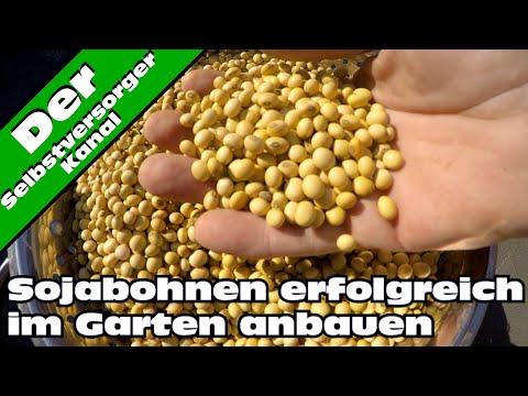 Sojabohnen erfolgreich anbauen