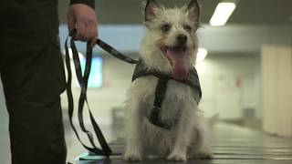 A Day In The Life Of A Customs Sniffer Dog