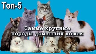 Топ 5 Самых Крупных Домашних кошек, Породы кошек