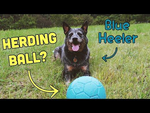 New Herding Ball for my Australian Cattle Dog | Blue Heeler