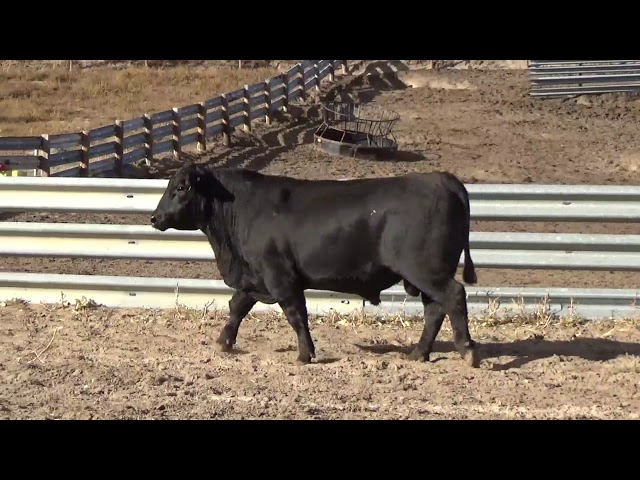 Connealy Angus Lot 241
