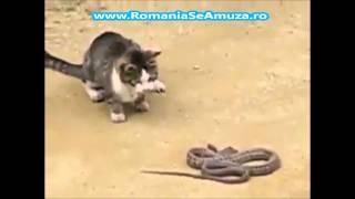 Pisica vs Sarpe Lupta intre animale