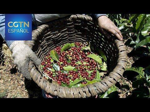 El café en Costa Rica es mucho más que un motor de la economía